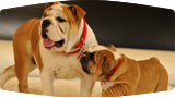 Behind the Scenes: Tag the Bulldog and Puppies